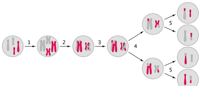 Các bước trong di truyền liên kết